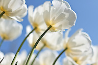 Backlit White Tulips