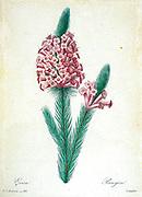 19th-century hand painted Engraving illustration of a flower, by Pierre-Joseph Redoute. Published in Choix Des Plus Belles Fleurs, Paris (1827). by Redouté, Pierre Joseph, 1759-1840.; Chapuis, Jean Baptiste.; Ernest Panckoucke.; Langois, Dr.; Bessin, R.; Victor, fl. ca. 1820-1850.