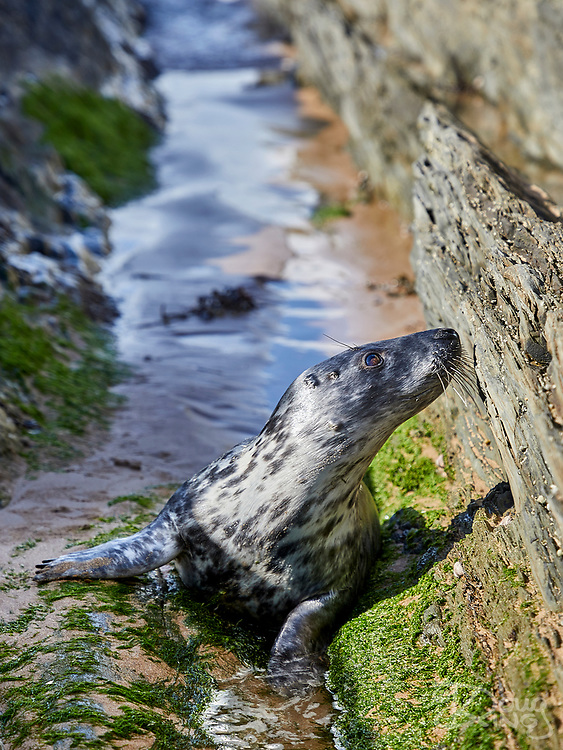 A newly weaned, female Grey Seal pup exploring the rocky gullies of Croyde Bay on the North Devon coast.