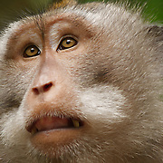 Portrait of a Crab-eating macaque (Macaca fascicularis), also know as a long-tailed macaque, in the Sacred Monkey Forest Sanctuary, Ubud, Indonesia.