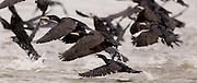 Great Cormorant (Phalacrocorax carbo) flock fishes in a fish pool, Hadera, Israel