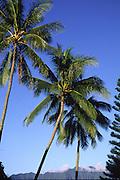 Coconut palm trees, Oahu, Hawaii<br />