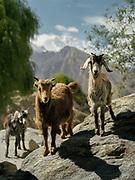 Goats facing the camera.