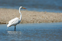 Great Egret Ardea alba Ding Darling National Wildlife Refuge Sanibel Island Florida USA