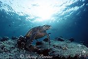 hawksbill sea turtle, Eretmochelys imbricata, Critically Endangered Species, Sipadan, Malaysia ( Celebes Sea / Western Pacific Ocean )