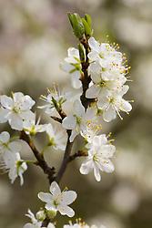 Prunus posegaca