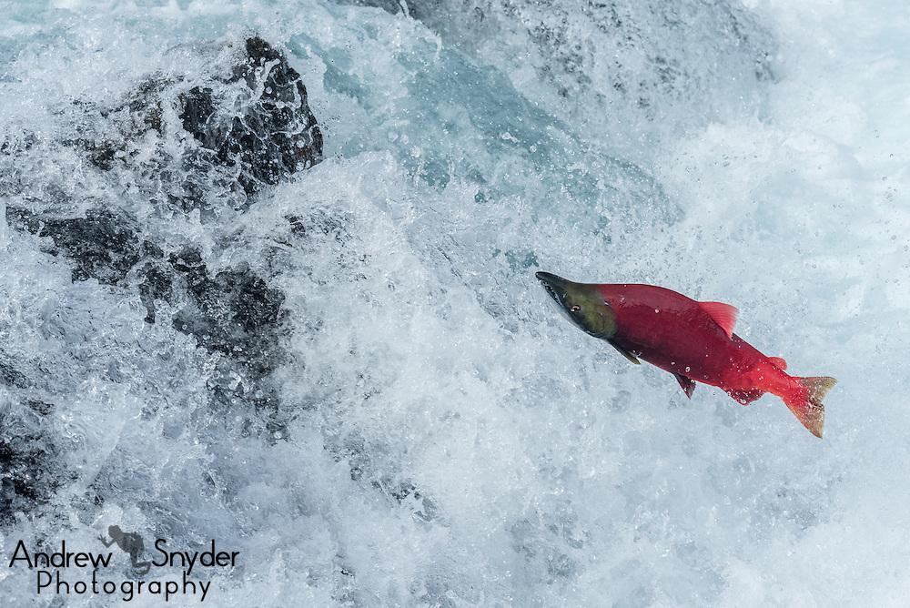 A male sockeye salmon (Oncorhynchus nerka) jumps up a small falls - Katmai, Alaska Sockeye salmon (Oncorhynchus nerka) making the jump up a small falls en route to spawning - Katmai, Alaska