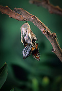 Emerging monarch butterfly (Danaus Plexippus). The butterly is pushing itself out of the chrysalis casing. (6 0f 11).