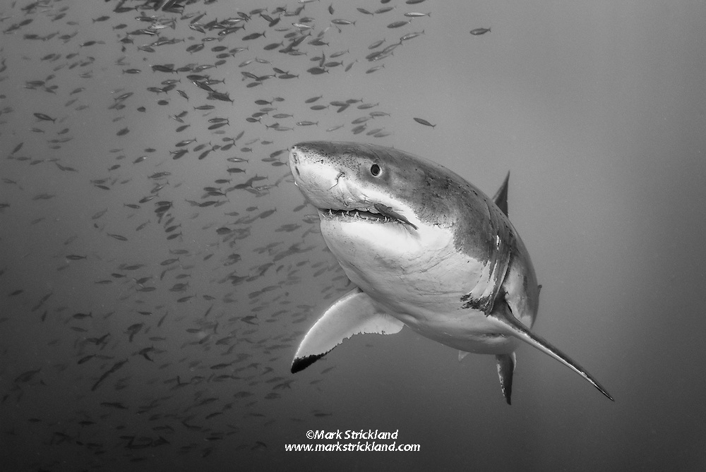A Great White Shark, Carcharcarodon carcharius, makes a close approach. Guadalupe Island; Mexico; Pacific Ocean