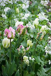 Tulipa 'Spring Green' and 'Green Wave' with Lunaria annua var. albiflora AGM. White-flowered honesty,