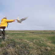 Denver Holt releasing a female snowy owl (Bubo scandiacus) with a satellite transmitter. Barrow, Alaska
