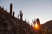 Cactus Valley, Atacama Desert, Chile, South America