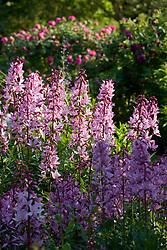 Dictamnus albus var. purpureus in The Rose Garden at Sissinghurst Castle