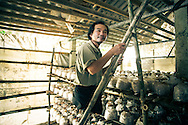 """Do Thien Dang profits from """"Mushrooms with a Mission,"""" a project developped by RENEW to help victims of UXO to increase their incomes, Quang Tri Province, Vietnam, Southeast Asia"""