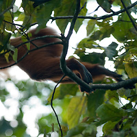 A monkey jumps from one tree branch to another in the Amazon jungle near Iquitos, Peru.