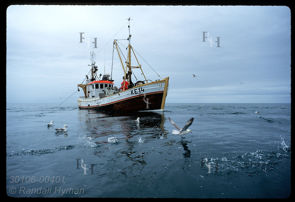 Gull splashes as it takes off near gillnet boat that fishes for flounder in July; Faxafloi Bay. Iceland