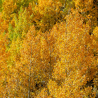 Fall colored aspens illuminate the steep mountain slopes above Bishop Creek Canyon in the Eastern Sierra Nevada near Bishop, California.