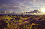 Springtime sunset and wildflowers in the foothills above Boise with the city in the background. Idaho.