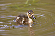 Mallard duckling in stream in The Cotswolds, Oxfordshire, England, United Kingdom