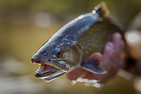 Fly caught brook trout in Vermont.
