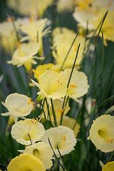 Narcissus romieuxii - Romieux hoop petticoat daffodil
