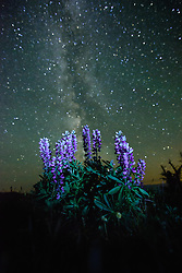 July 26, 2017 - Lupins (Lupinus polyphyllus) growing in foreground, Milky Way visible in night sky, Nickel Plate Provincial Park, Penticton, British Columbia, Canada (Credit Image: © Preserved Light Photography/Image Source via ZUMA Press)