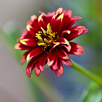 Botanicals: Annuals