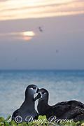 Black-footed albatross, Phoebastria nigripes, pair at sunset, Sand Island, Midway Atoll, Midway National Wildlife Refuge, Papahanaumokuakea Marine National Monument, Northwest Hawaiian Islands, USA ( North Pacific Ocean )