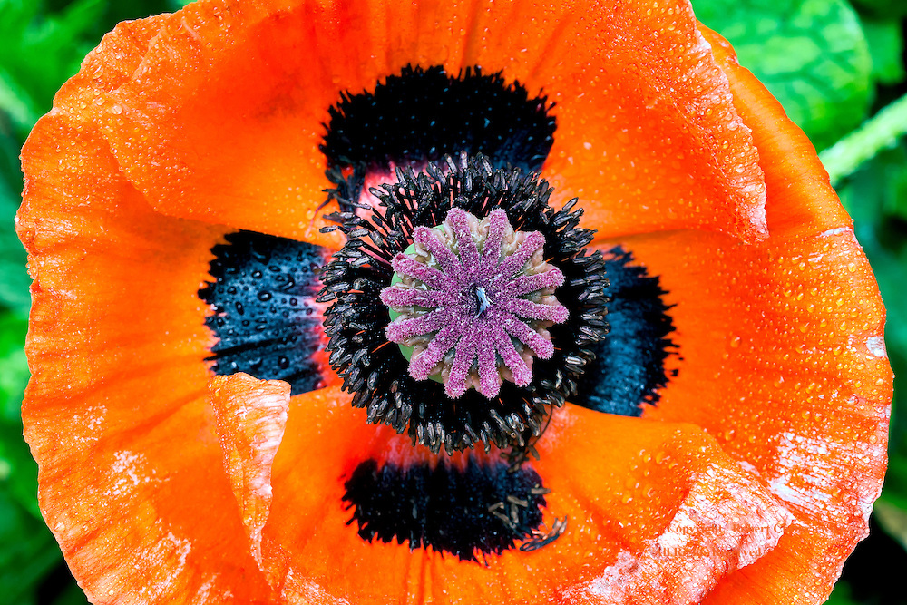 Poppy's Cross: A glorious close-up view of an orange poppy reveals a rich vibrant interior, with the black patches on the petals forming a cross, Minter Gardens, Chilliwack British Columbia Canada.