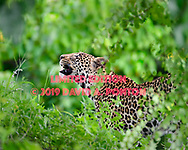 Leopard pauses and looks upward, Chobe National Park, Botswana, ©  David A. Ponton [LIMITED EDITION PRINTS WILL BE AVAILABLE, other uses are restricted, please contact me for more info.]