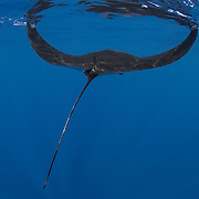 Rear view of a juvenile manta ray swimming in blue water along the ocean surface skimming for food, with both wings in the up position