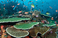 Damsels and Anthias feed in the current above healthy Table Corals<br /> <br /> Shot in Indonesia