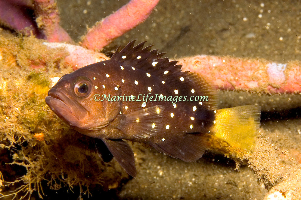 Snowy Grouper, juvenile are rare and inhabit reefs, adults deep below 200 ft. in Tropical West Atlantic; picture taken St. Vincent.