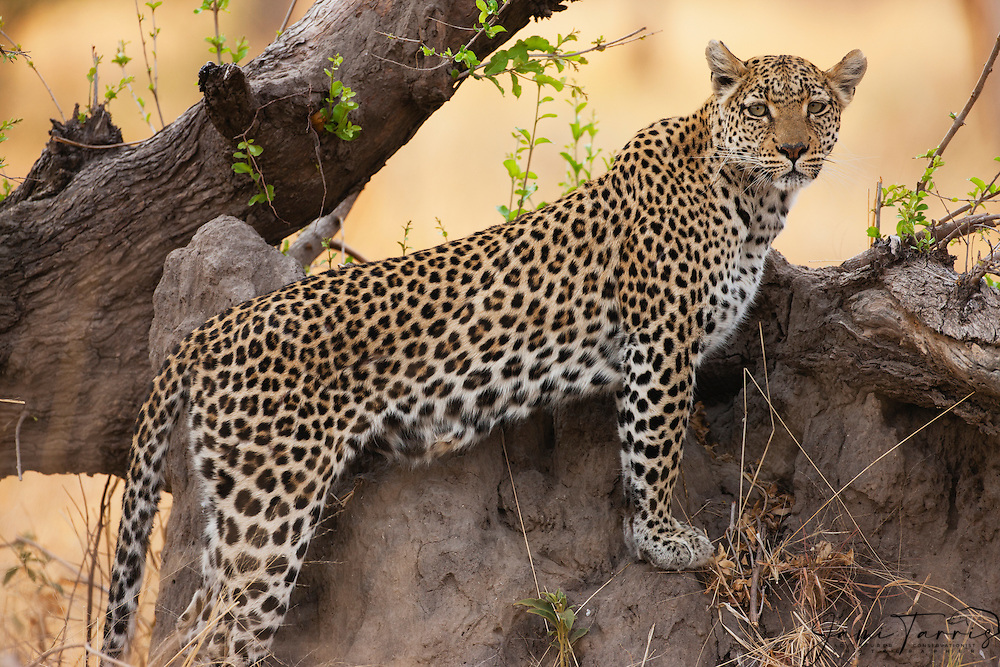 A leopard (Panthera pardus) posing on a log at sunrise, portrait, Khwai River, Botswana