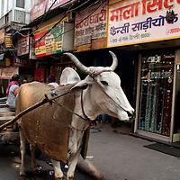 Asia, India, Delhi. Ox pulling cart, Chandni Chowk.