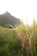 A crop of rice ready to be harvested. Yen Bai province, Vietnam, Southeast Asia