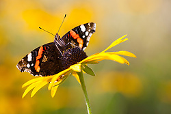 Red admiral butterfly on Rudbeckia fulgida var. deamii