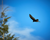 Turkey Vulture soaring. Image taken with a Nikon D3 camera and 80-400 mm VR lens (ISO 200, 400 mm, f/5.6, 1/1000 sec).