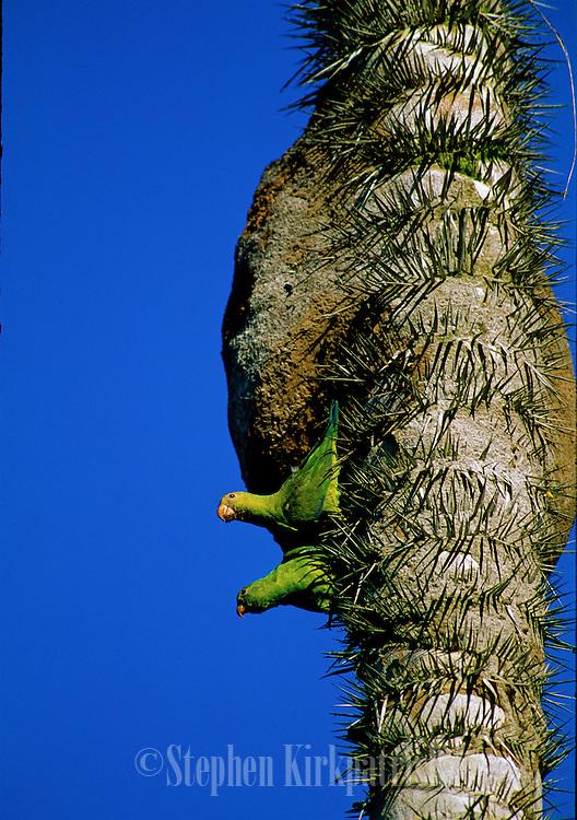 Cobalt-winged Parakeets (Brotogeris cyanoptera) building nest - Amazonia, Peru.