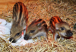 © Licensed to London News Pictures. 15/05/2013 London, UK. Four week old Wild Boar piglets at Whipsnade Zoo, Beds. The triplets- Gertie, Hettie and Dotty are being hand-reared by surrogate keepers at the wild animal park..Photo credit : Simon Jacobs/LNP