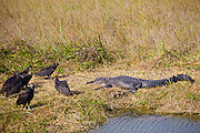 Black vultures, Coragyps atratus, alongside alligator in the Everglades, Florida