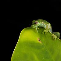 An Emerald Glass Frog, Espadarana prosoblepon, in the Chocó.