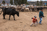 Boy leading cow<br /> Calpi animal market<br /> Parish of Riobamba, Chimborazo Province<br /> Andes<br /> ECUADOR, South America