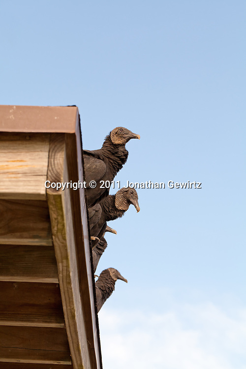Black vultures (Coragyps atratus) perched on the edge of a roof in Everglades National Park. WATERMARKS WILL NOT APPEAR ON PRINTS OR LICENSED IMAGES.