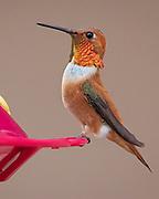 Male rufous hummingbird, Selasphorus rufus