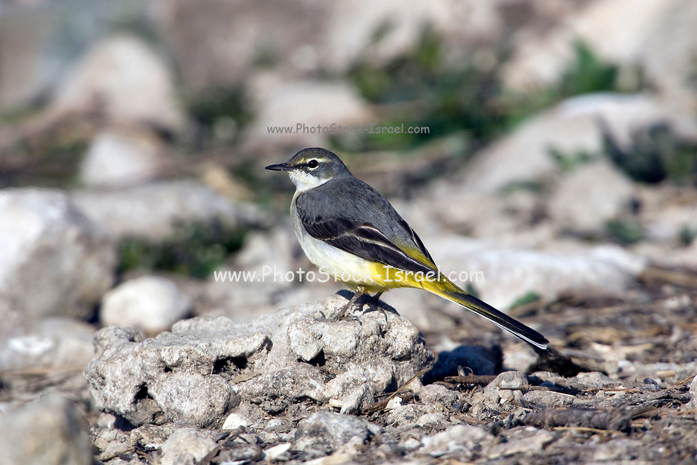Female Grey Wagtail (Motacilla cinerea). Grey wagtails are found throughout temperate Europe and Asia and parts of northern Africa. They are insectivorous and inhabit areas close to fast flowing streams. The adult male has a black throat, which allows it to be distinguished from the female. Photographed in Israel in December