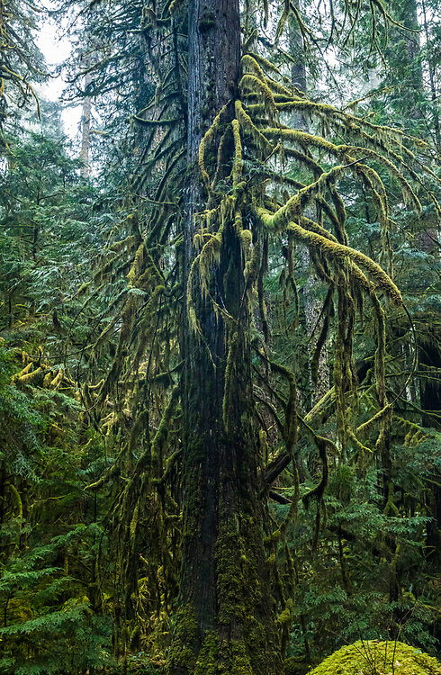 Moss covered branches of a Western Red Cedar tree, Staircase Rapids area of Olympic National Park, Washington, USA.