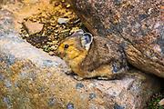 American Pika (Ochotona princeps), Jasper National Park, Alberta, Canada