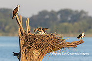 00783-02101 Osprey (Pandion haliaetus) family at nest with fish Rend Lake Jefferson Co. IL