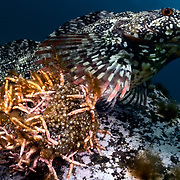This is a male spotty-bellied greenling (Hexagrammos agrammus) protecting several clutches of eggs resulting from spawning with multiple females. During the autumn/ winter breeding season, males keeps watch over developing embryos until they hatch. At the same time, males actively court females that approach, swimming out to greet them and lead them back to carefully prepared spawning areas like the one pictured here. The eyes of developing fish larvae are visible in many of the eggs here, meaning they are close to hatching. Freshly spawned eggs were attached to the opposite side of this cluster. Successful males like this one often attend to a number of egg clusters at different stages of development, each from separate females.